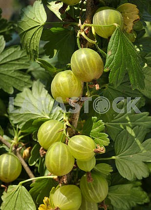 Gooseberries on the branch