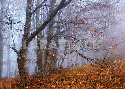 Beeches in a fog