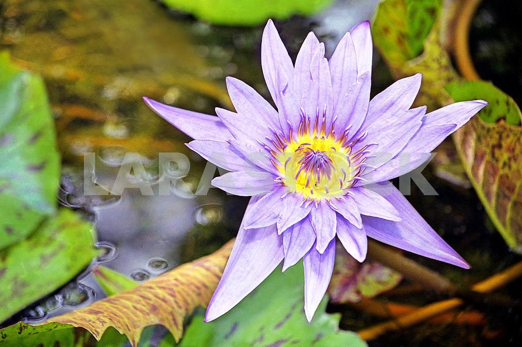 Lotus. India — Image 27