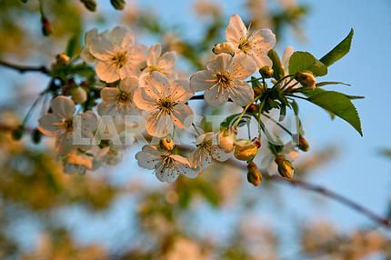 Cherry petals at dawn