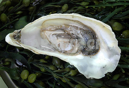Open oyster on seaweed