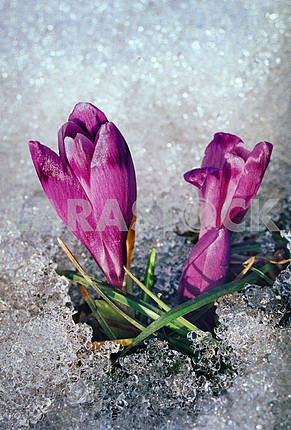 Flowers of saffron (crocus) are indicators of spring