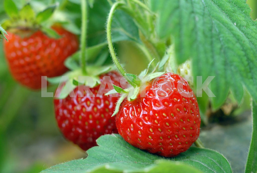 Strawberry growing on a bed — Image 2882