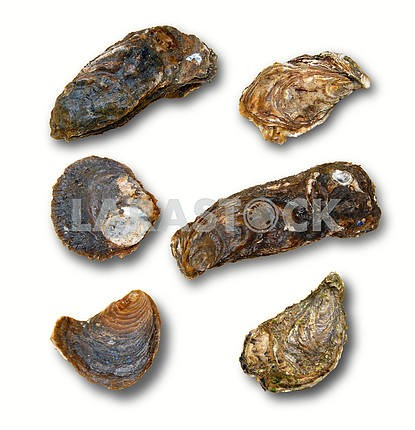 Oysters isolated on a white background with shades