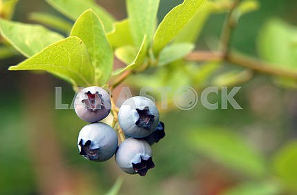Blueberry on a bush