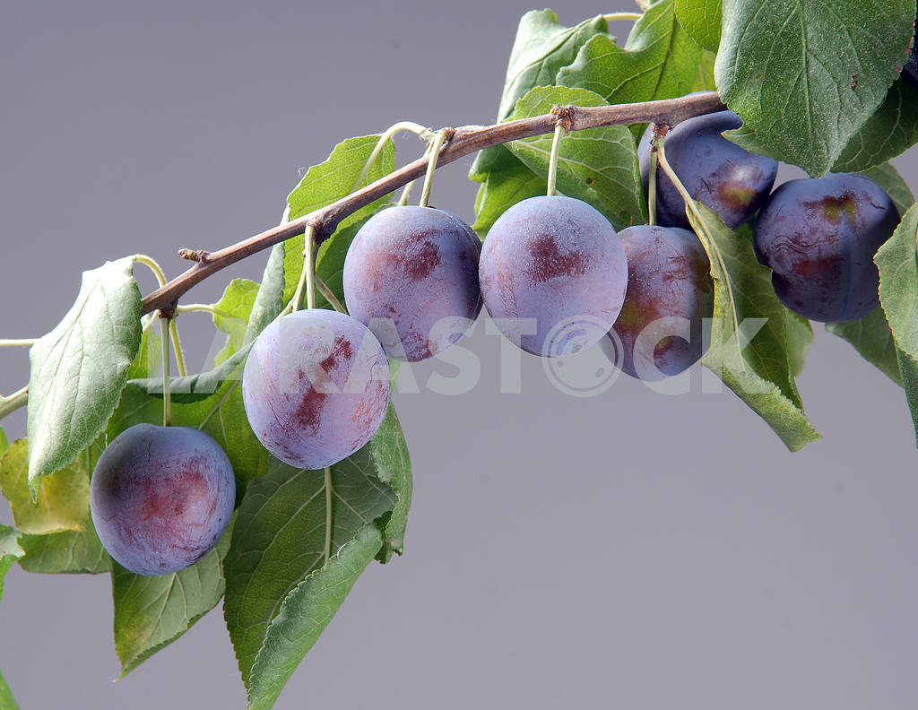 Ripe plums on a branch — Image 3015