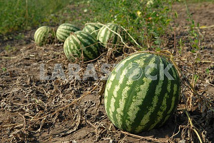 Ripe water-melons