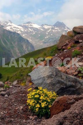 Альпийские цветы в камнях против кавказских гор