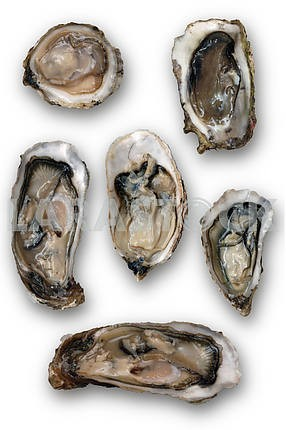 Open oysters isolated on a white background