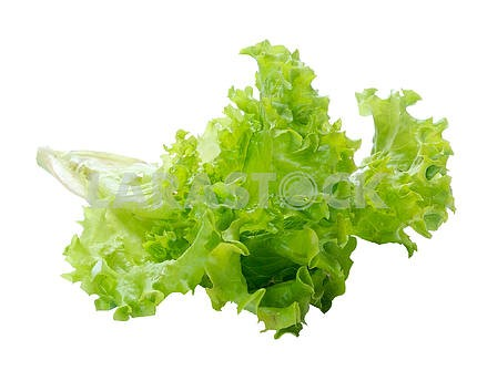 Green salad lettuce with a root