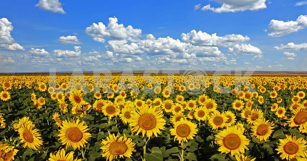 Sunflowers — Image 31369