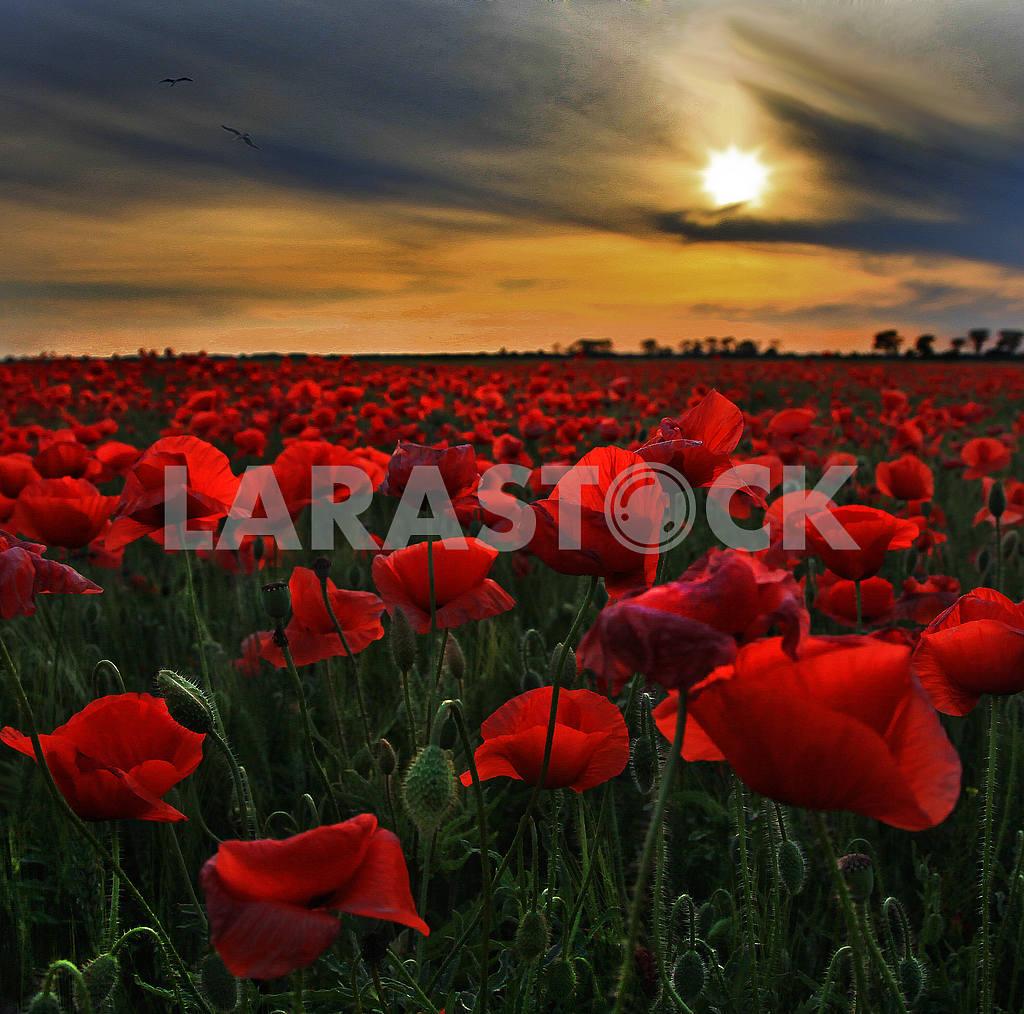 Poppy field — Image 31371