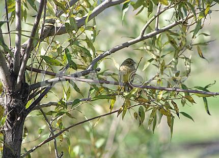 Little yellow bird on a willow tree.