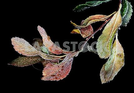 Raznotsaetnvmi Branch with autumn leaves with hoar frost and drops on a black background.