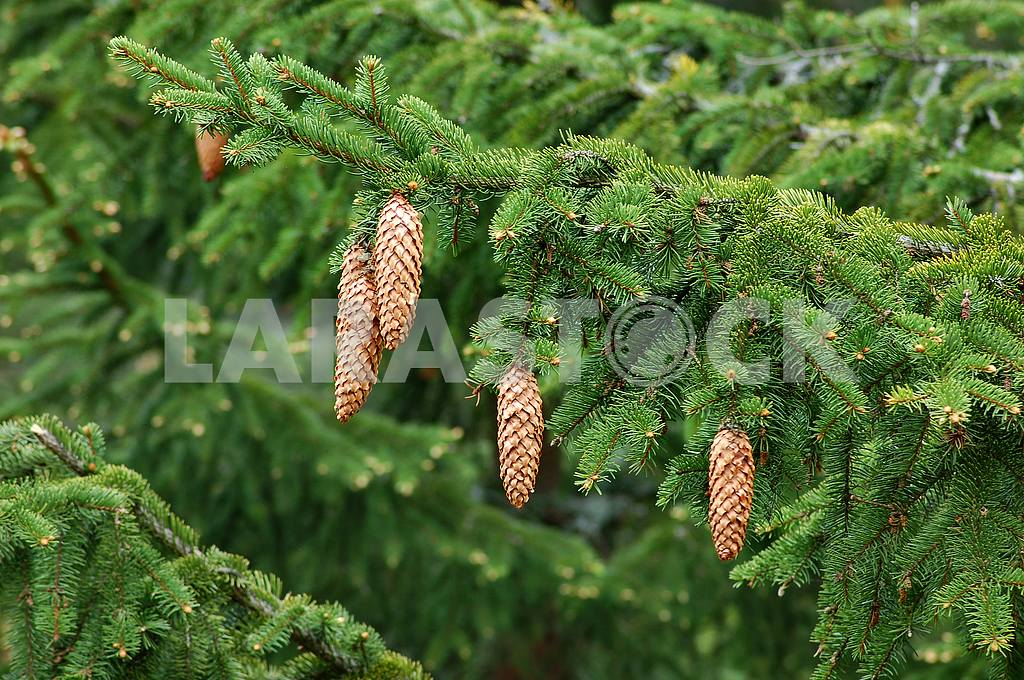 Pine cones on a branch — Image 32561