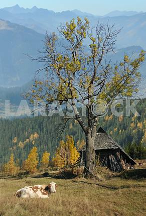 Cow has a rest on an autumn mountain pasture near a house.