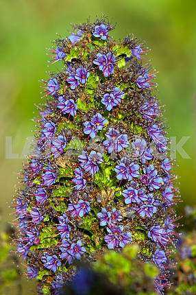 Purple Echium candicans, macro