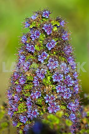 Фиолетовый Echium candicans, макросъемка