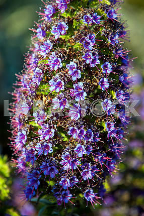 Purple Echium candicans closeup