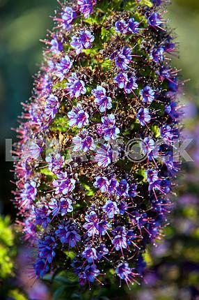 Фиолетовый Echium candicans крупным планом