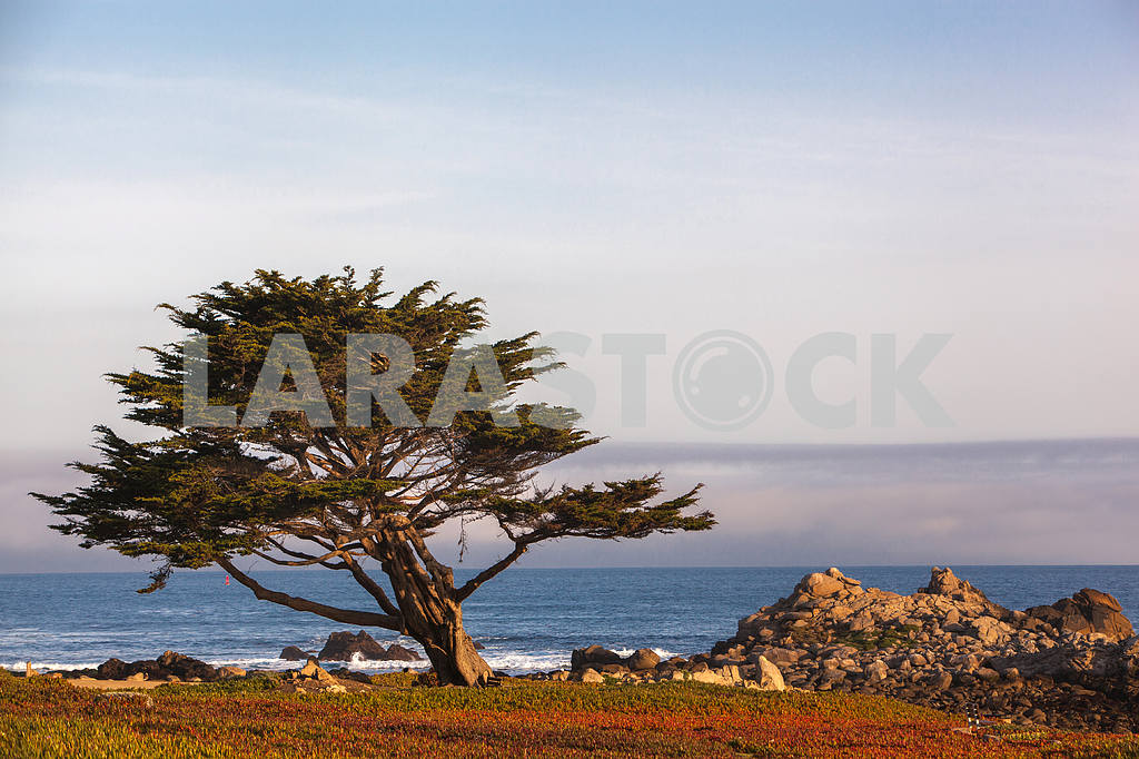 A lone Cypress stands on the beach of the Pacific Coast — Image 32826