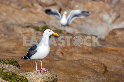 White seagull with black wings on a rock closeup