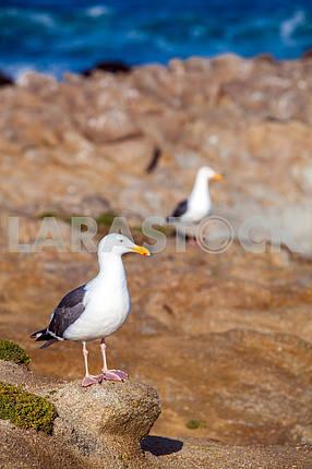 Seagull on a rock closeup
