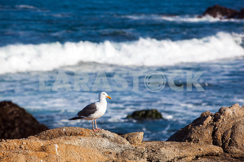 White seagull with black wings is standing on a rock — Image 32834