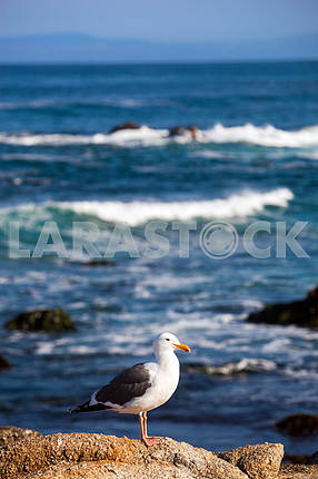 Seagull is standing on a rock near the ocean