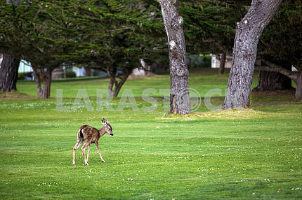 Roe on lawn with trees background