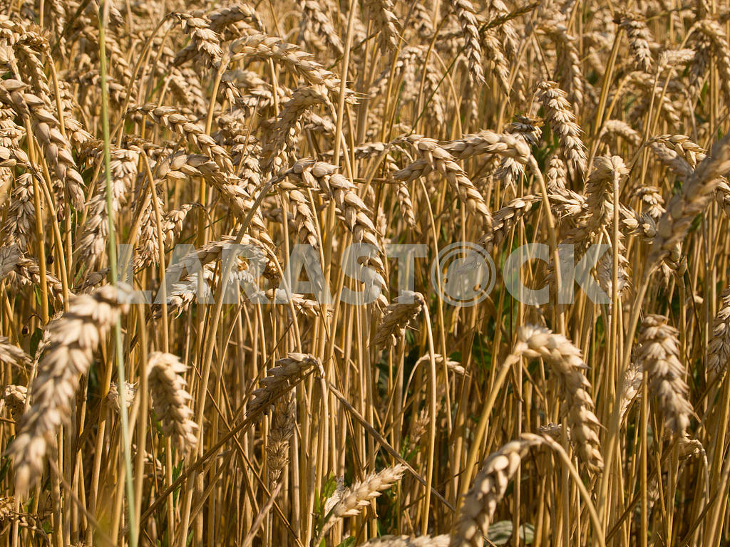 Ears of wheat — Image 32861