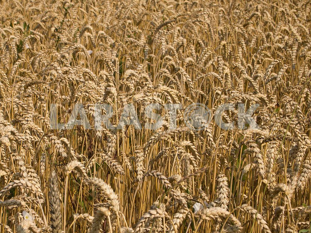 Wheat — Image 32862