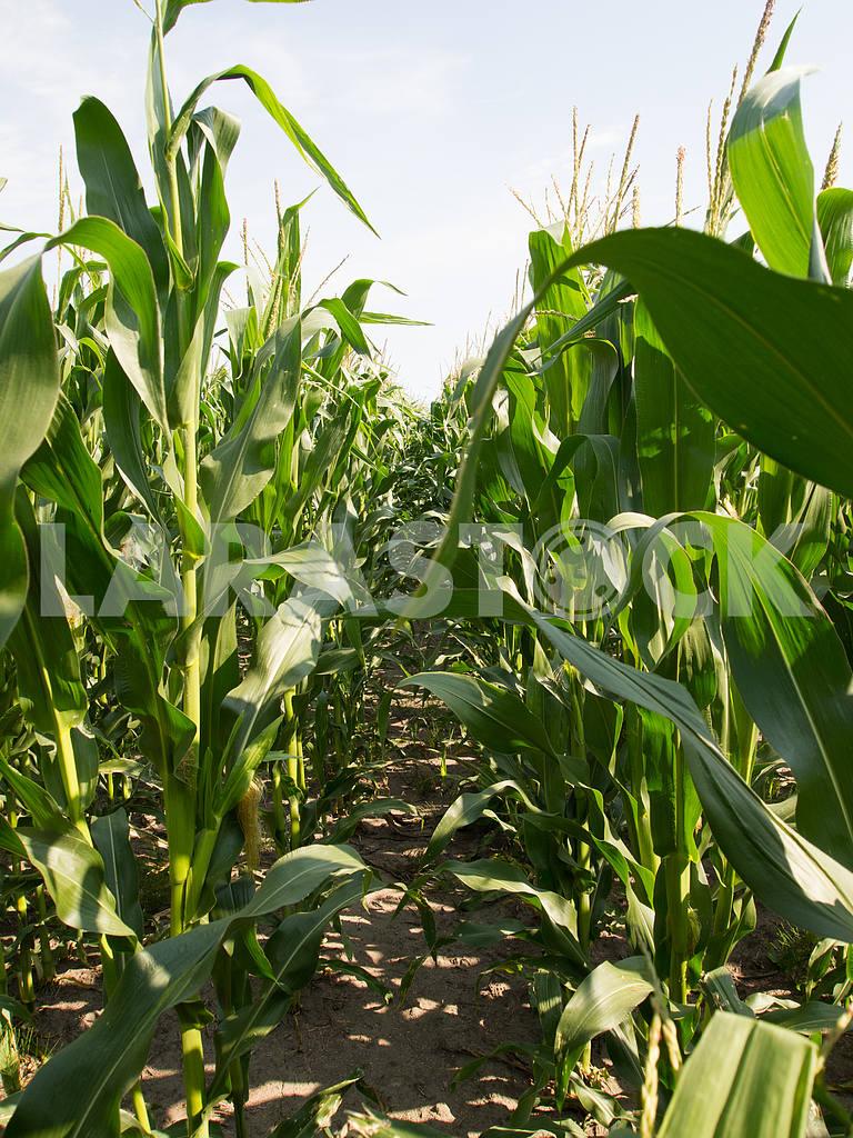 Corn — Image 32863