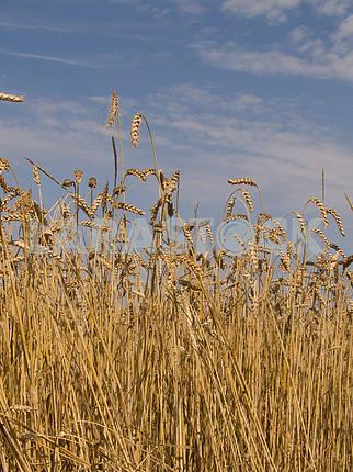 Пшеница на фоне неба