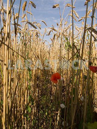 Маки в пшенице