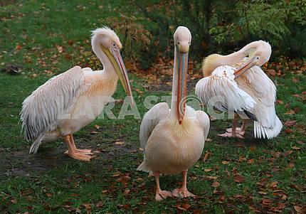 Пеликаны в Киевском зоопарке