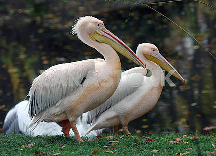 Pelicans in the Kiev Zoo