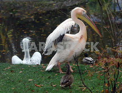 Pelicans in the Kiev Zoo
