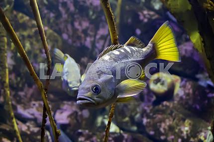 Желтохвостый морской окунь(Sebastes flavidus), крупным планом