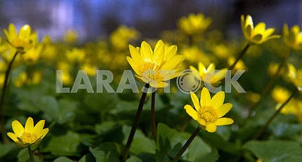 Chistyakov. Yellow spring flowers.