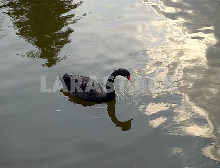 Черный лебедь в пруду .