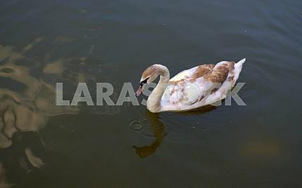 Серо-коричневый лебедь