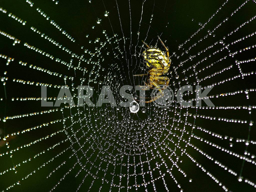 Yellow spider web in the rings of dew drops on a black background. — Image 34435