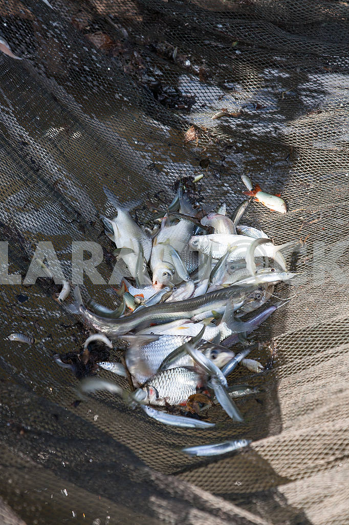 Network with fish raised by fishermen fishing cooperative, Tonle Sap Lake — Image 3448