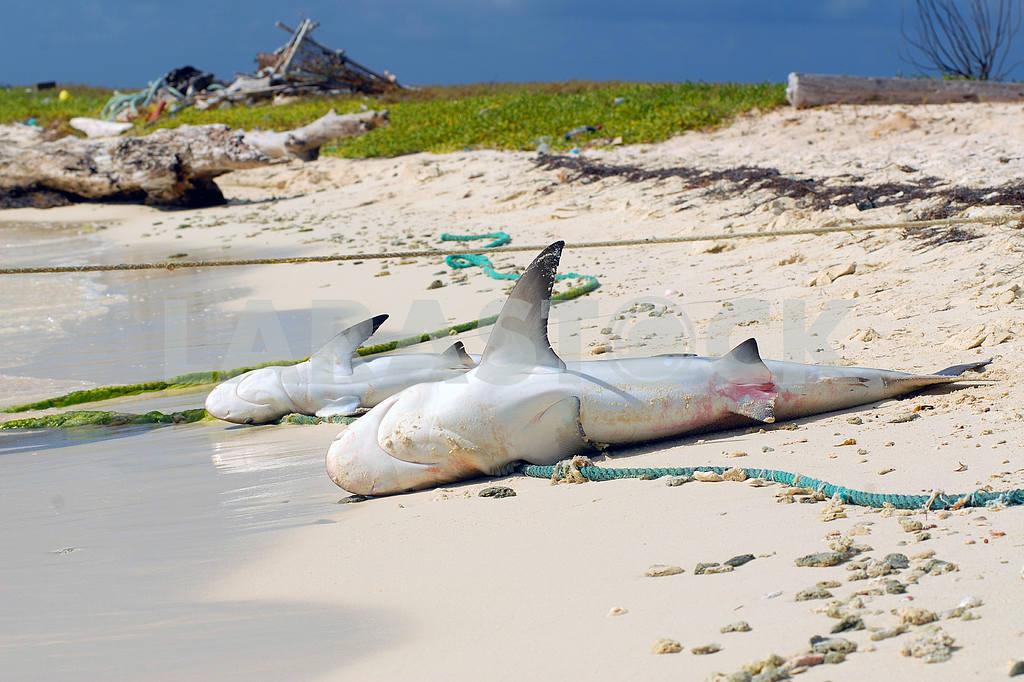 Two dead sharks on sandy coast — Image 3558