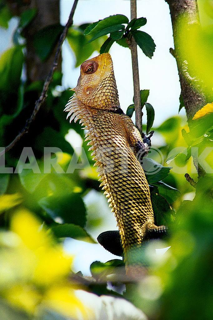 Iguana. India — Image 36