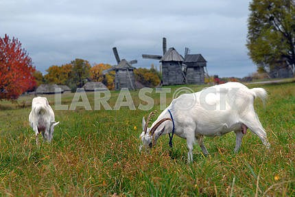 Goats are grazed on a meadow against mills