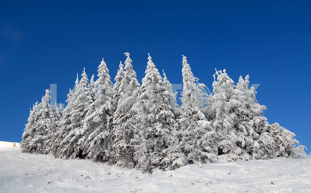 Snow-covered fur-trees  — Image 3756