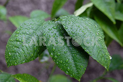 Rain drops on green leaves