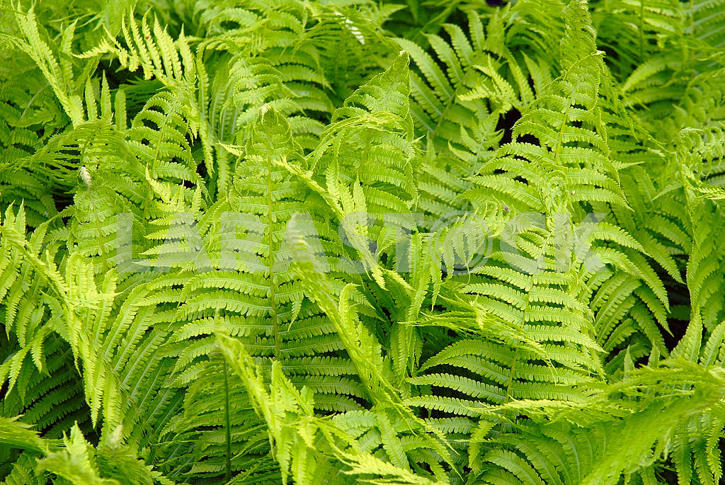 Green leaves of a fern — Image 3799